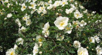 Цветение шиповника колючейшего