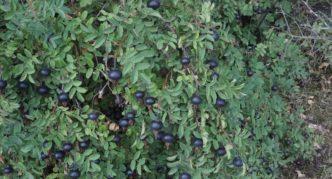 Шиповник колючейший с плодами
