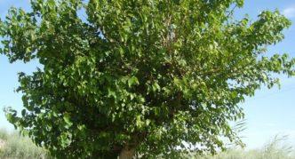 Дерево белой шелковицы