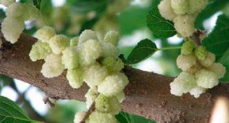 Ветка белой шелковицы с плодами