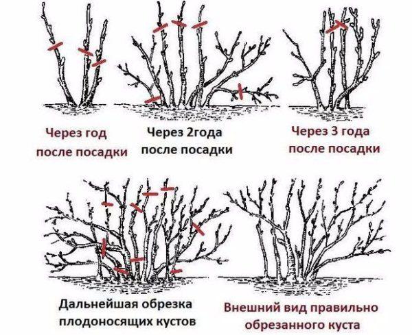 Обрезка плодовых кустарников