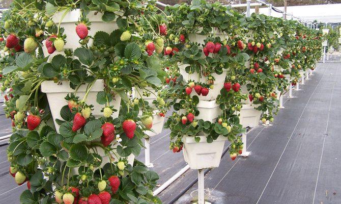 Горшечный вертикальный способ выращивания клубники