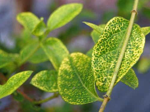 Крапчатость листьев жимолости