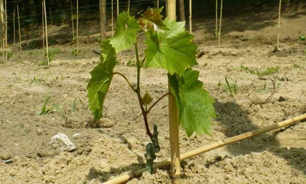 Как подвязать виноград весной фото, способы сделать правильно, советы для начинающих