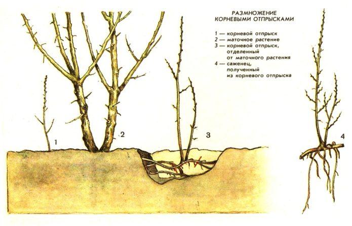 Размножение облепихи корневыми отпрысками
