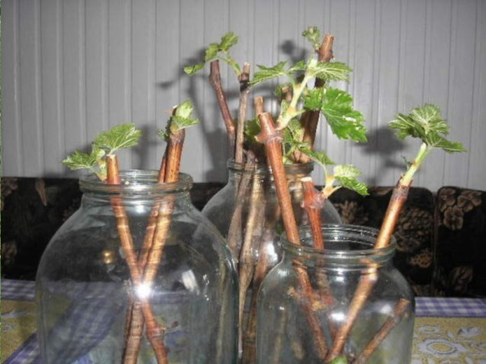 Проращивание чубуков винограда в банках