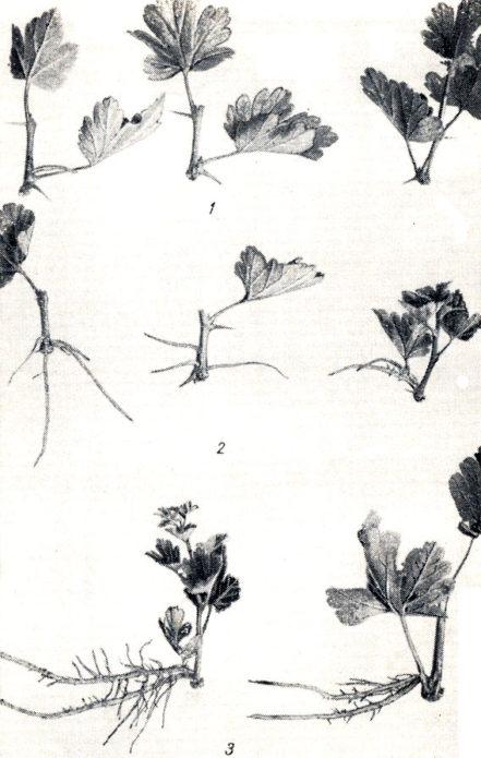 Фазы корнеобразования зелёных черенков крыжовника