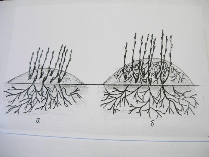 Размножение крыжовника черенками, отводками и другими способами