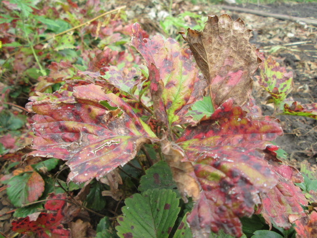 Листья клубники, поражённые бурой пятнистостью