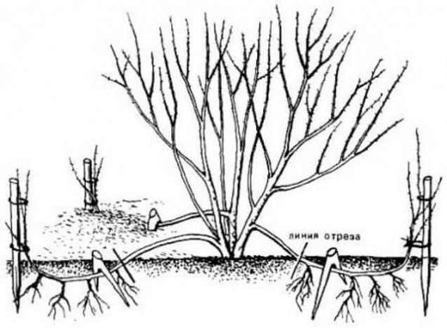 Размножение крыжовника дуговидными отводками