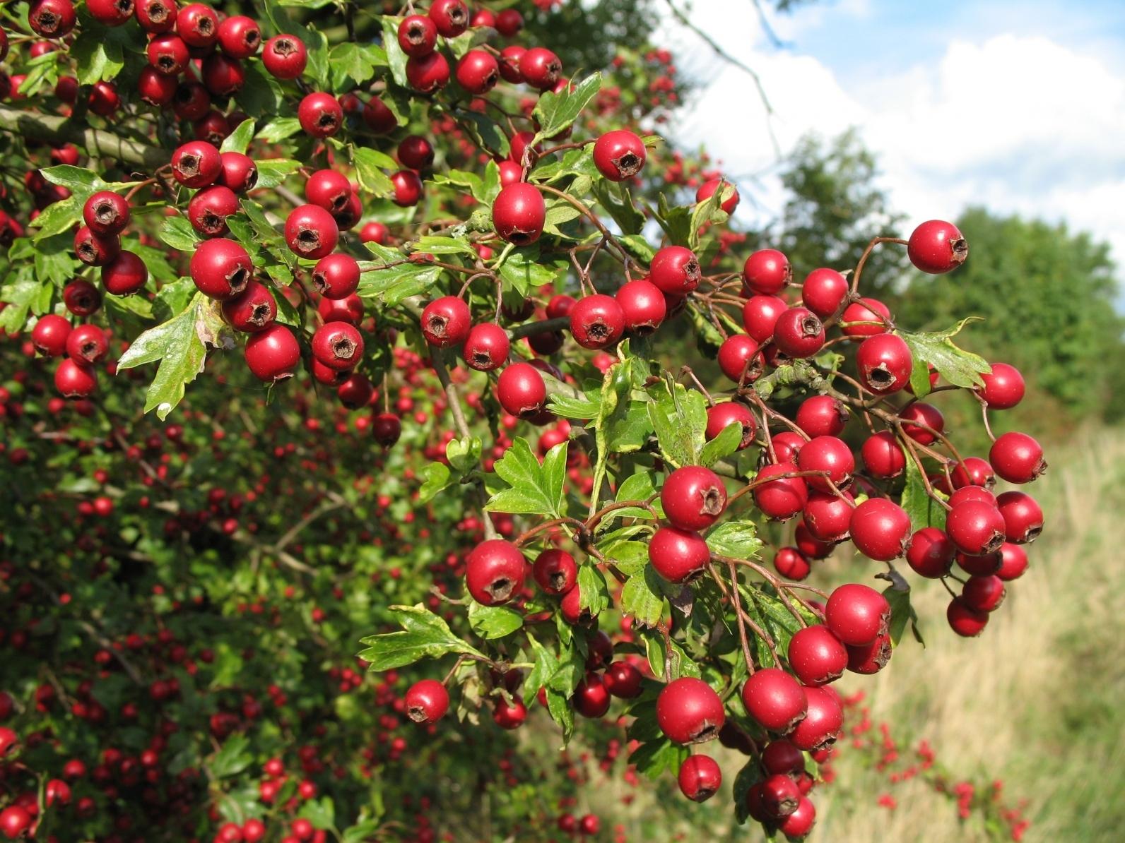 Боярышник в вашем саду: описание и рекомендации по уходу
