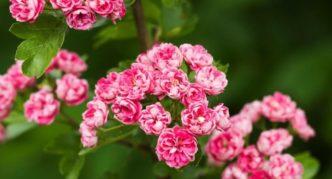 Боярышник однопестичный Rosea Flora Pleno