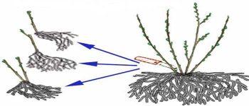 Размножение крыжовника делением куста