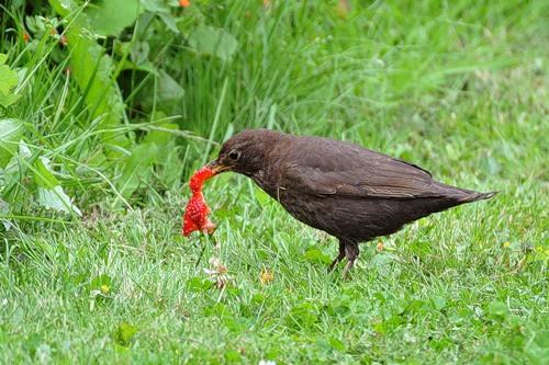 Птицы любят лакомиться клубникой
