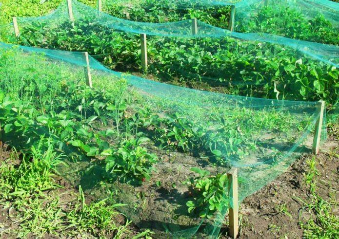 Защита посадок клубники от птиц при помощи сетки