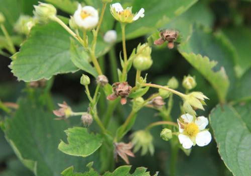 Цветы клубники, повреждённые долгоносиком