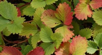 Естественное покраснение листьев клубники