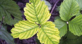 Пожелтение листьев клубники