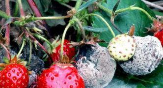 Загнивание плодов клубники