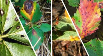 Пятна на листьях клубники