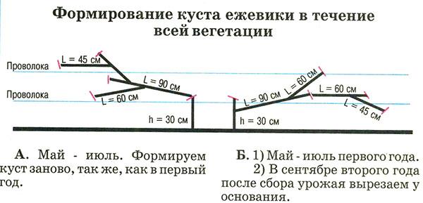 Рисунок формирования куста ежевики