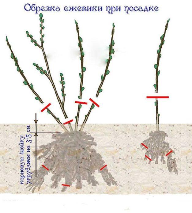 Рисунок обрезки саженца ежевики