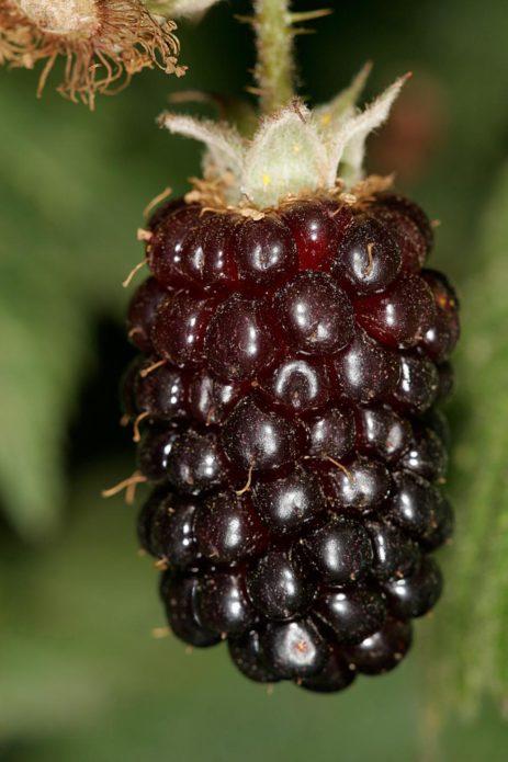 Бойсенова ягода