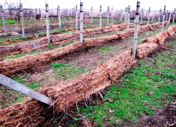 Укрытие винограда соломой