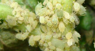 Зелёная облепиховая тля