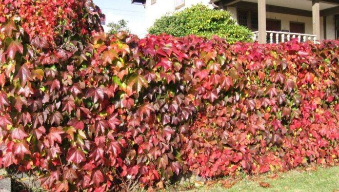 Как размножить виноград черенками, отводками и семенами особенности и советы для начинающих
