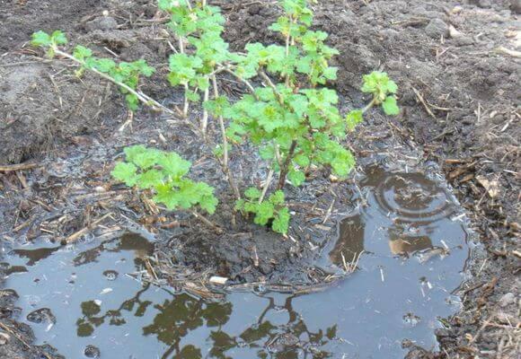 Подкормка крыжовника органическими удобрениями