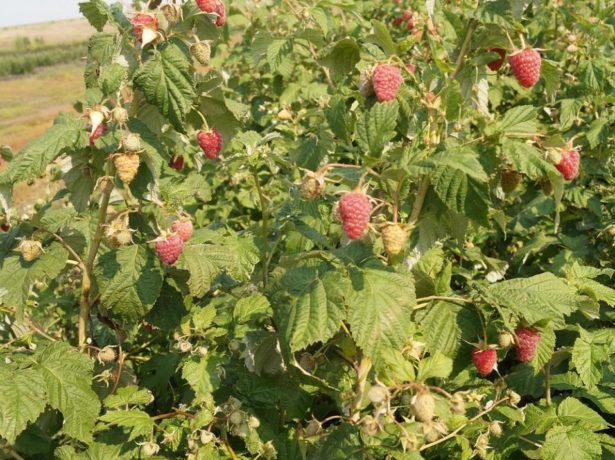 Ремонтантная малина — урожай
