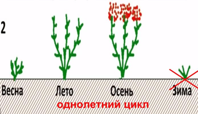 Однолетний цикл выращивания ремонтантной малины