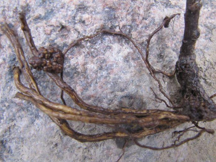 Чечевички на корнях