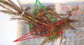 Значение корней