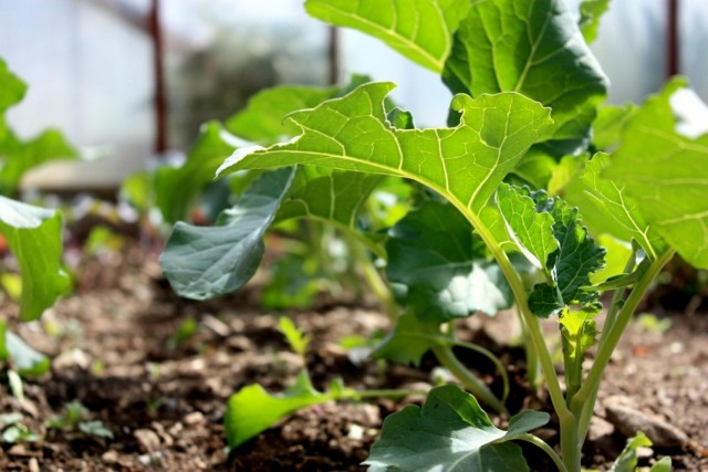 Рассада капусты брокколи в теплице