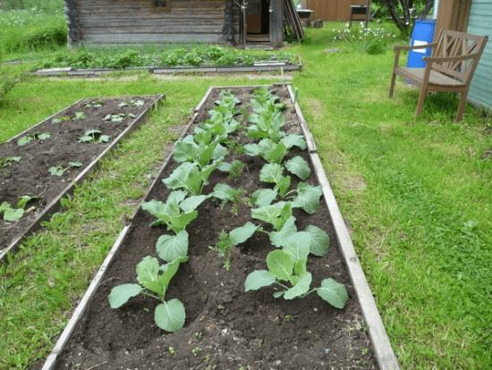 Схема посадки капусты брокколи
