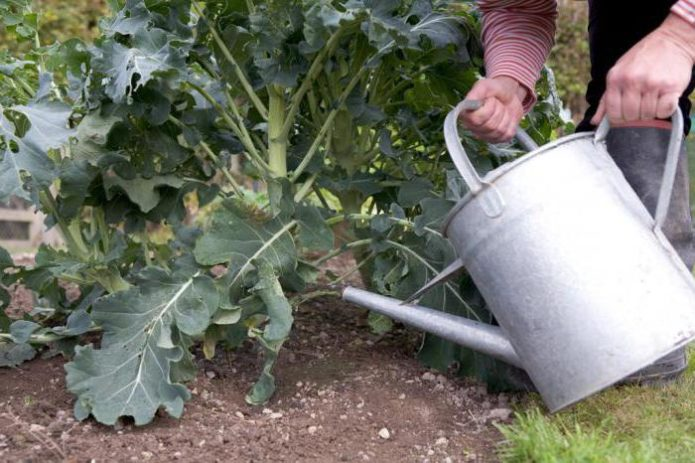 Полив капусты брокколи