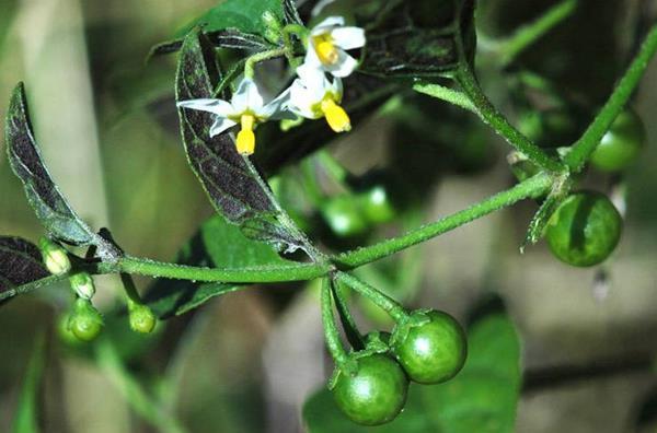 Цветки и зелёные плоды санберри