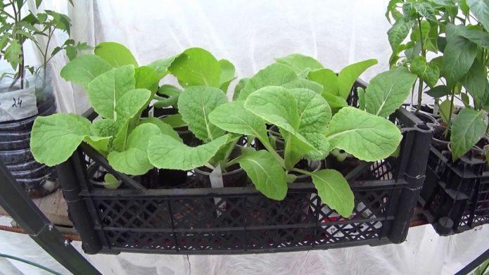 Как вырастить пекинскую капусту в домашних условиях выбор сорта, особенности посадки и ухода