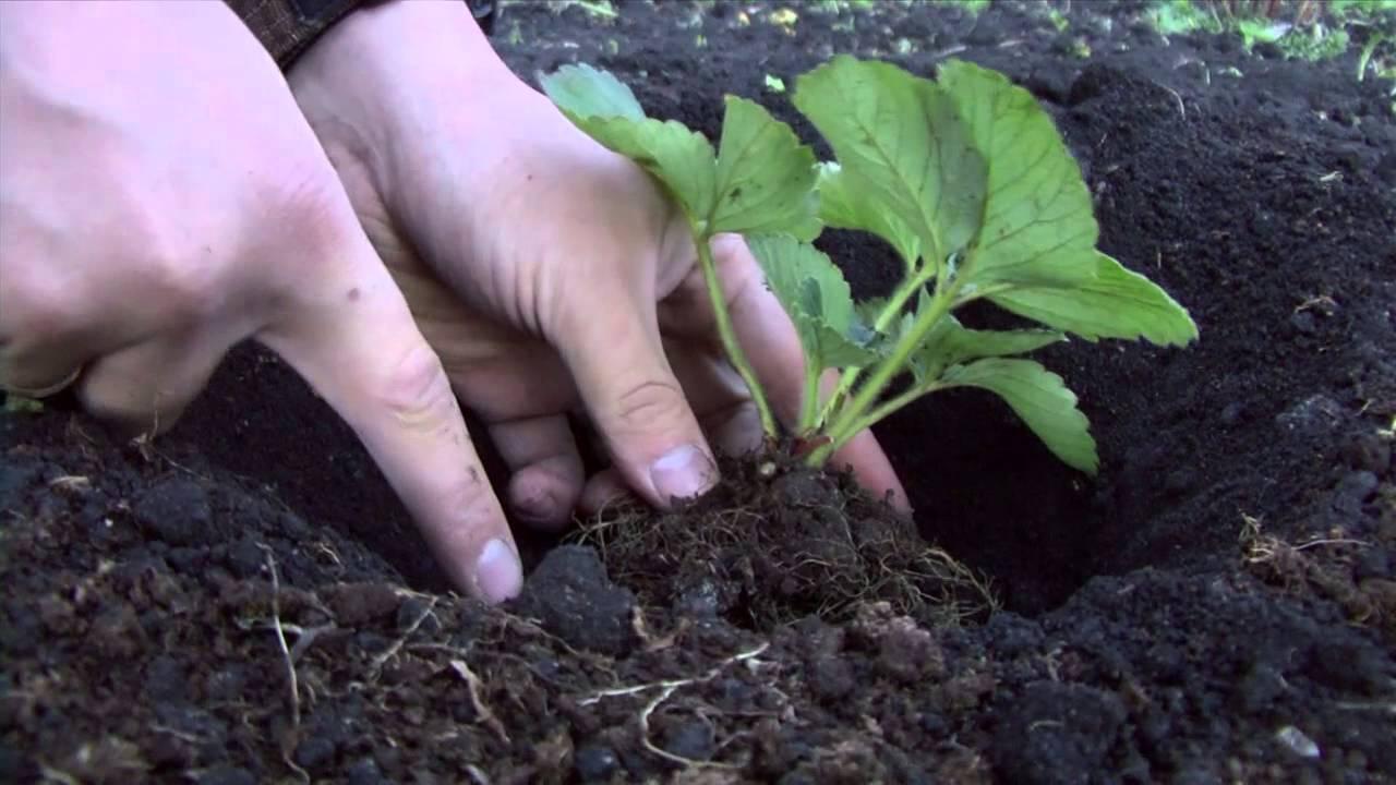 Посадка клубники земляники Подготовка почвы