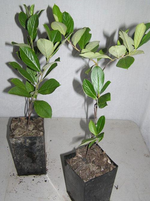 Саженцы черноплодной рябины