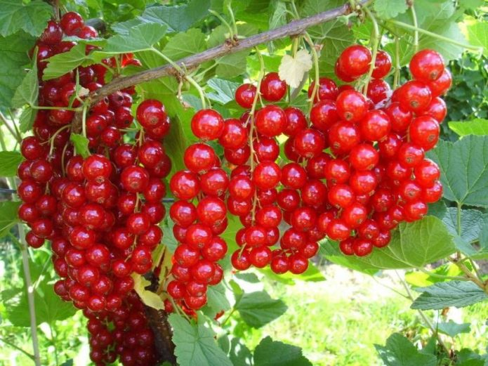 Удобрение и подкормка смородины весной, летом и осенью