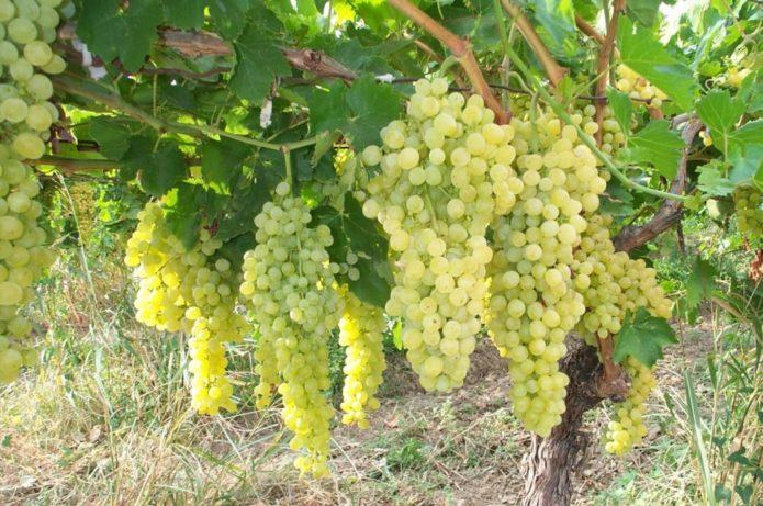 Удобрение для винограда чем и когда лучше подкормить