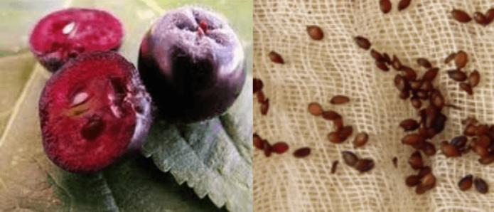 Плоды и семена аронии черноплодной