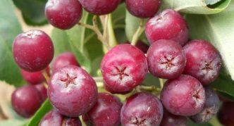 Сорт рябины Рубиновая