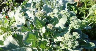Головки на боковых побегах капусты брокколи сорта Тонус в конце лета