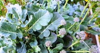 Головки на боковых побегах капусты брокколи сорта Тонус осенью