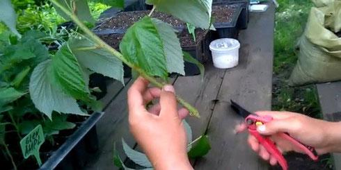 Зеленый черенок малины