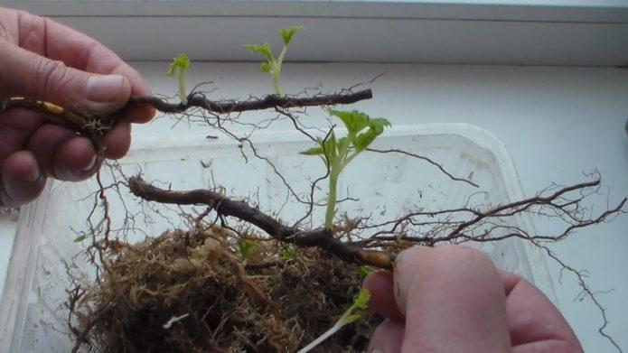 Ростки от корня